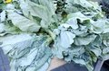 Collard Greens Stock Images - 77784394
