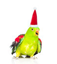Red-Winged Parrot (Aprosmictus Erythropterus)in Red Christmas Hat. Isolated On White Background Royalty Free Stock Image - 77792346
