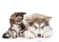 Small Maine Coon Cat Looking  Looking At A Alaskan Malamute Dog. Isolated On White Stock Photography - 77792452