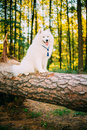 Happy White Samoyed Dog Sitting On Fallen Tree Stock Photography - 77817992