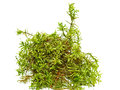Green Fresh Forest Moss Stock Image - 77821251