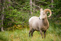 Healthy Male Ram Bighorn Sheep Wild Animal Montana Wildlife Stock Images - 77828614