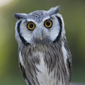 Closeup Of A Northern White-faced Owl Royalty Free Stock Images - 77833919