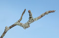 Lichen On Twig Royalty Free Stock Photography - 77865827