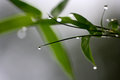 Dew And Bamboo Leave. Royalty Free Stock Image - 77892546
