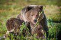 Close Up Portrait Of The Wild Brown Bear Stock Photos - 77915663