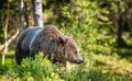 Close Up Portrait Of The Wild Brown Bear Stock Photos - 77916083