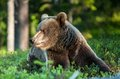Close Up Portrait Of The Wild Brown Bear Royalty Free Stock Image - 77916166