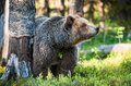 Close Up Portrait Of The Wild Brown Bear Royalty Free Stock Photography - 77916217