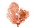 Red Gorgonian Or Red Sea Fan Coral Isolated On White Background Stock Images - 77916784
