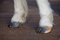Front Horse Hooves Dry And Cracked Needing Moisture Royalty Free Stock Photography - 77962907