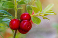 The Ripe, Fresh Berries Of Cowberries (lingonberry, Partridgeber Stock Photo - 77982310