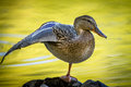 Duck Stretches Wing. Royalty Free Stock Image - 77994606