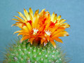Blossoming Cactus Parodia  Faustiana. Royalty Free Stock Images - 783059