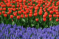 Red Tulips And Bluebells Stock Photos - 7807973