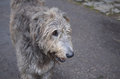 Sweet Faced Irish Wolfhound Dog With Grey Fur Royalty Free Stock Images - 78016309