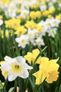 Daffodils Royalty Free Stock Photo - 7810925