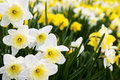 Daffodils Stock Images - 7810934