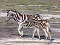 Young Zebra With Its Mother. Royalty Free Stock Images - 7817779