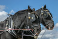 Shire Horses Heads At Show Royalty Free Stock Photo - 78100425