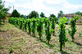 Vineyard Royalty Free Stock Photos - 78146288