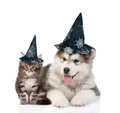 Maine Coon Cat And Alaskan Malamute Dog With Hats For Halloween.  On White Royalty Free Stock Photo - 78154385