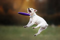 Dog Catching Disk In Jump Stock Photography - 78159362