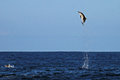 Common Dolphin Jumping Very High Royalty Free Stock Image - 78175716