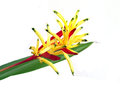 Heliconia, Lady Di Heliconia, Or Parakeet Flower Royalty Free Stock Photo - 78179885