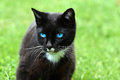 Cat With Blue  Eyes Royalty Free Stock Photo - 78183765