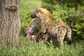 Hyenas Are Eating Dead Animal Royalty Free Stock Photo - 7820375