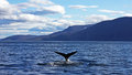 Humpback Whale Taking A Dive Stock Images - 78221774