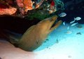 Green Moray Eel Royalty Free Stock Photo - 78233445