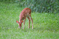 Whitetail Fawn Deer Eating Grass Royalty Free Stock Photography - 78293857