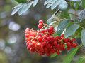Ripe For The Picking - Red Berries From The Rowan Aka Mountain-Ash Tree Stock Photos - 78373413