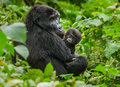 A Female Mountain Gorilla With A Baby. Uganda. Bwindi Impenetrable Forest National Park. Royalty Free Stock Photo - 78388875