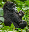 A Female Mountain Gorilla With A Baby. Uganda. Bwindi Impenetrable Forest National Park. Royalty Free Stock Images - 78388959