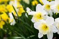 Daffodils Stock Photo - 7845240