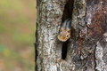 Eastern Chipmunk (Tamias) Peeks Out From His Hiding Hole In A Tree. Stock Photography - 78428442