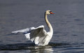 Beautiful Swan Spreads Its Wings Stock Photography - 78434412