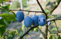 Plum Tree With Ripe Fruits On Branch Royalty Free Stock Photo - 78443545