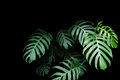 Green Leaves Of Monstera Plant Growing In Wild, The Tropical For Stock Photography - 78475202