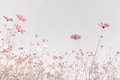 Soft Focus And Blurred Cosmos Flowers Stock Photo - 78491450