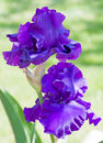 Two Purple Irises Royalty Free Stock Images - 7851039
