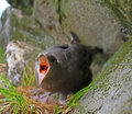 Protecting Nest And Self-defense. Fulmar Spits Smelly Caustic Orange Blubber In Eyes Of Predator. Stock Photo - 78512400