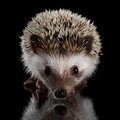 Prickly Hedgehog Isolated On Black Background Royalty Free Stock Image - 78532236