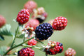 Blackberry  Royalty Free Stock Images - 7862959