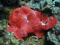 Red Frog Fish Stock Photo - 7869610