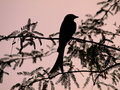 Bird Silhouette Royalty Free Stock Photography - 7870007