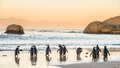 African Penguins On The Sandy Coast In Sunset. Red Sky. Royalty Free Stock Photography - 78704917